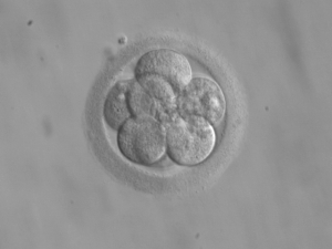 An eight-cell embryo